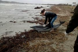 Delfin am Strand von Pollença verendet