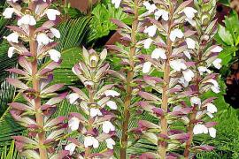 Acanthus mollis, eine klassische Mittelmeerpflanze, gut für Halbschatten.