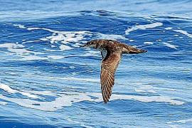 Balearen-Sturmtaucher vom Aussterben bedroht