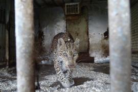 Gerettete Löwin stirbt im Natura Parc