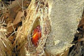 Die Raupe attakiert auch den Stamm der Palmen und kann auch auf Mallorca heimische Exemplare töten.