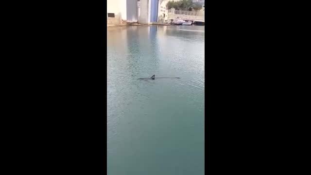 Haifisch im Hafenbecken von Palma