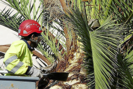 Kampf gegen Palmrüssler geht weiter