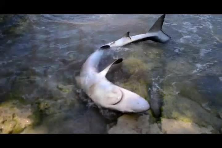 Experte: Hai war dem Tod geweiht