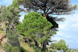 Wie ein großer Sonnenschirm: Die Mittelmeerkiefer an der Straße Valldemossa-Deià.