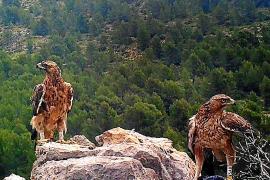 """Adler """"Deià"""" bekommt eine Partnerin aus Andalusien"""
