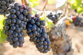 Alte Mallorca-Rebsorten begeistern die Weinkenner