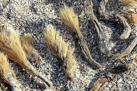 Auch die Sprossachsen des Neptungrases findet man häufig an den Stränden.