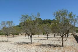 Mallorca verliert jährlich 1000 Hektar Mandelbäume