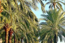 Schön, elegant, nützlich und bedroht: Palmen auf Mallorca
