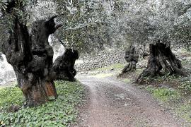Oliven-Bauern drohen erhebliche Ernteeinbußen