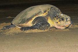 Schildkröten-Babys könnten bald auf Mallorca ankommen