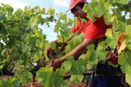 Kleine Weingüter produzieren 70 Prozent des Inselweins