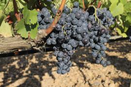 Winzer sind zufrieden mit der Weinlese 2016
