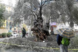Der meistfotografierte Baum auf Mallorca wird gestutzt