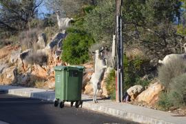 Ziegeninvasion im Südwesten Mallorcas
