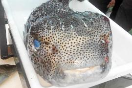 Erstmals giftiger Kugelfisch bei Mallorca aufgetaucht