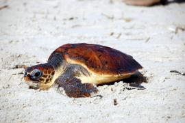 Schildkröten nach Reha ins Meer entlassen