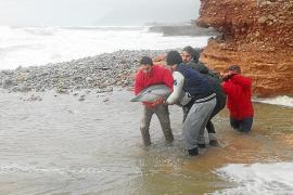 Jugendliche retten gestrandeten Delfin an Mallorcas Ostküste