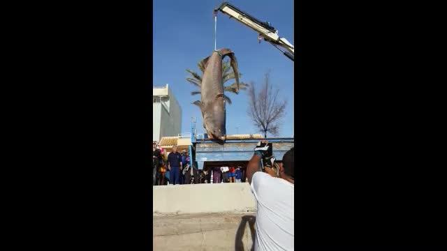 Toter Hai an Mallorcas Küste aufgefunden