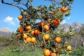 Ertragreiche Mandarinen-Ernte in Sóller