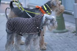 Warm eingepackte Hunde im kalten Palma.