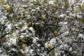 In Puigpunyent auf Mallorca waren am Dienstag sogar die Orangenbäume mit einer zarten Schneeschicht bedeckt.