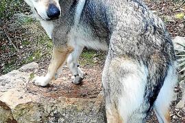 Wird schmerzlich vermisst: Der Tschechoslowakische Wolfhund Phelan. Der zweijährige Rüde ist kastriert und aufgrund einer Bauchs