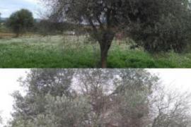 Bereits 71 Pflanzen sind auf Mallorca vom Feuerbakterium befallen, darunter auch Olivenbäume.