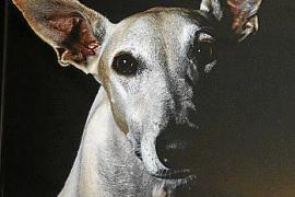 Rasty ist ein Galgo-Rüde, der von einer Tierärztin gerettet wurde