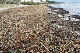 Playa de Muro unter Treibgut und Algen begraben