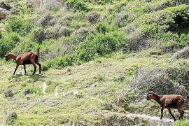 Calvià reduziert Ziegenpopulation