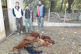 Hunde reißen 19 Lämmer in Alaró