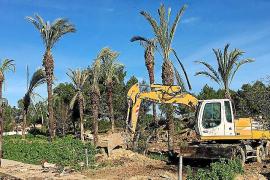 Rettung für Palmen aus Can Picafort
