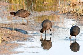 Wieder mehr Zugvögel im Park von S'Albufera