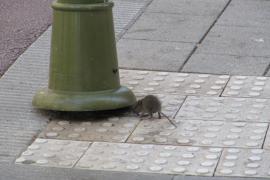 Mehr Ratten in Palmas Parkanlagen