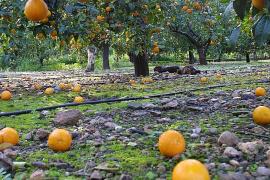Gute Orangenernte trotz Wind und Regen