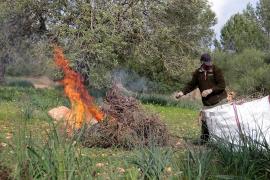 Mitte Februar wurdne auf dem Gelände der Baleraenuniversität von Xylella befallene Rosmarinbüchse verbrannt.