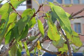 Im November 2016 wurde das Feuerbakterium erstmals an Kirschbäumen in Porto Cristo entdeckt.