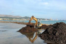 Tonnen von Algen am Strand von Alcúdia