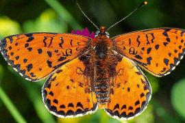 Die Schmetterlinge verschwinden