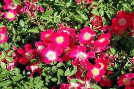 Polyantharosen, mehrstielig und mit einfachen Blüten.