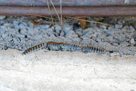 Die Raupen kriechen in langen Reihen am Boden entlang