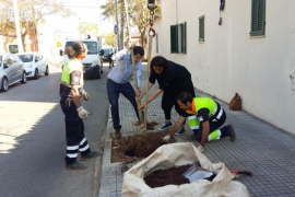 1000 neue Bäume in Palma gepflanzt