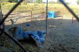 Polizei von Inca rettet Pferd im letzten Moment