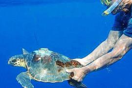 Meeresschildkröten helfen bei der Forschung