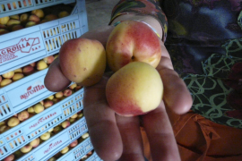 Aprikosenernte auf Mallorca fällt dürftig aus