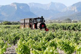 Touristenzug fährt durch Mallorcas Weinberge