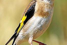 Inselregierung verbietet Fangen von Singvögeln