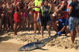 Meeresbiologen und Rettungsschwimmer haben den Hai an den Strand gezogen